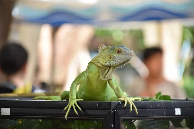 Iguana in piedi