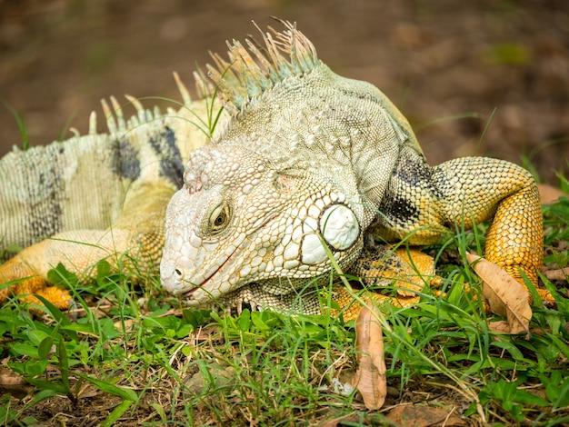 Iguana che fissa l'erba
