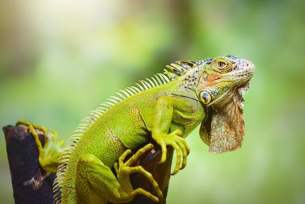 Iguana su ramoscelli in giardino tropicale