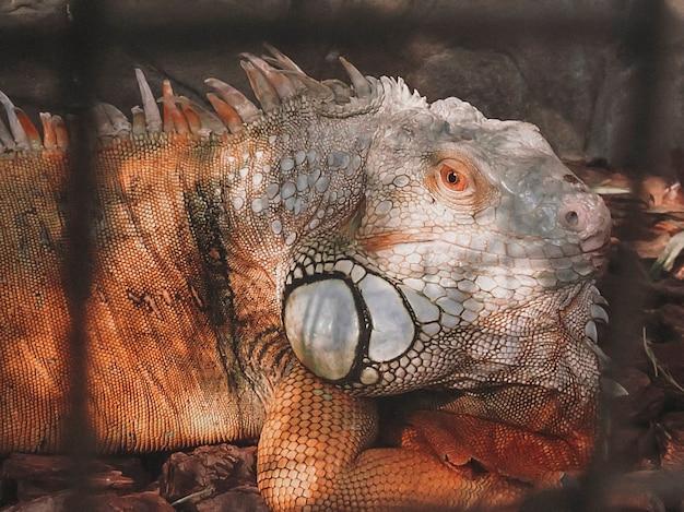 Primo piano dell'iguana verde allo zoo. fotografia di animali, lucertole.