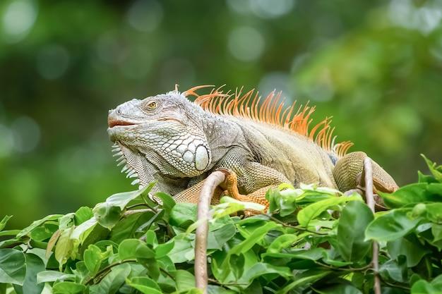 L'iguana allo stato brado.
