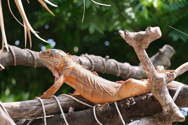 Le iguane sono generi di lucertole che vivono ai tropici dell'america centrale, del sud america e delle isole dei caraibi. iguana rossa, sfocatura dello sfondo