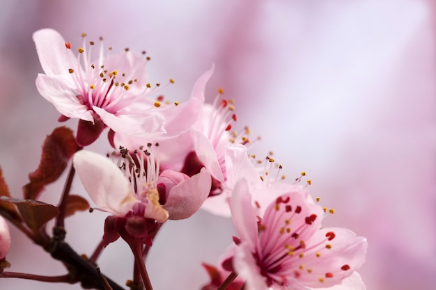 Illuminato dalla luce del sole freschi fiori di ciliegio