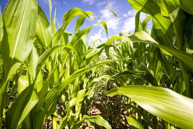Illuminato dalla luce del sole foglie verdi di mais in una giornata estiva, cielo blu