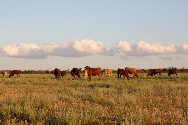 Illustrazione della mandria di mucche nelle steppe di stavropol