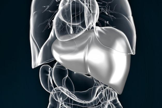 Illustrazione del fegato umano. contiene il tracciato di ritaglio