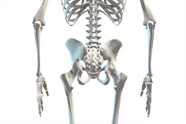 Illustrazione di una rappresentazione del sistema scheletrico umano 3d