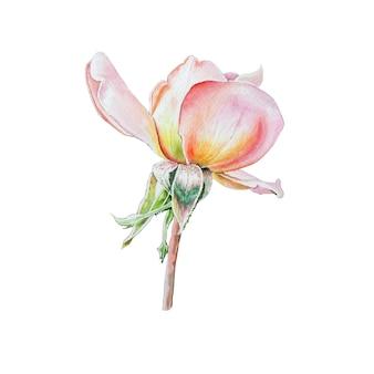 Illustrazione con rosa dell'acquerello. disegnato a mano.