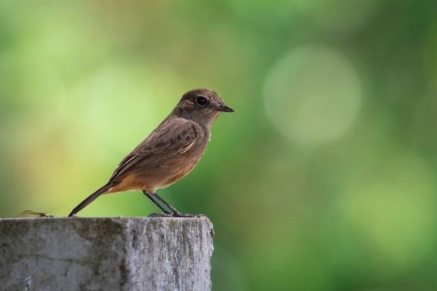 Immagine di asian brown flycatcher (muscicapa dauurica) sul ramo sullo sfondo della natura. uccello. animali.