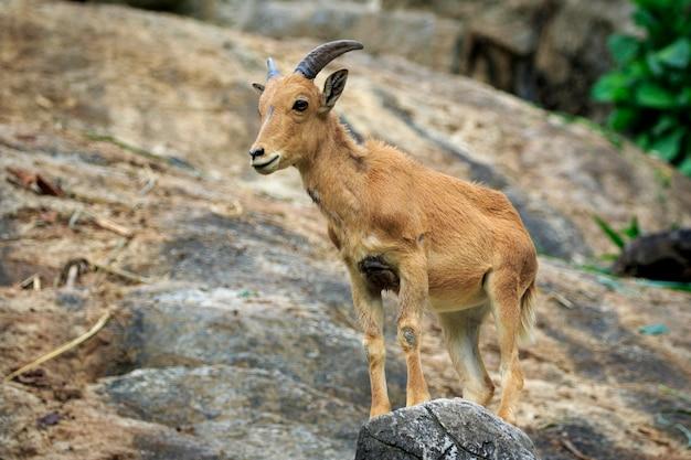 Immagine di una pecora barberia sulle rocce. animali della fauna selvatica.
