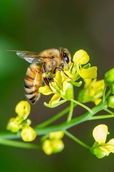 L'immagine dell'ape o dell'ape sul fiore raccoglie il nettare. ape d'oro sul polline di fiori con sfocatura dello spazio per il testo.