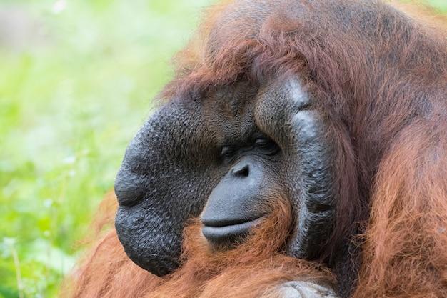 Immagine di una grande scimmia maschio arancione dell'orangutan.