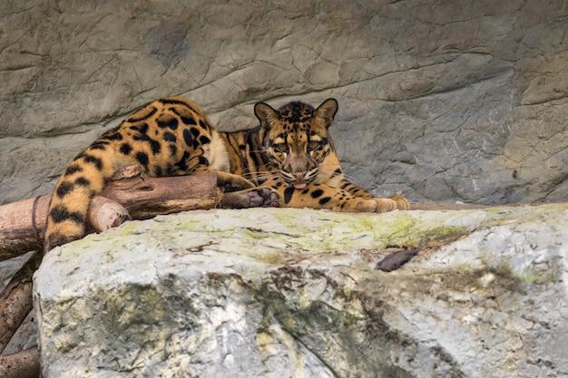 L'immagine di un leopardo nebuloso si distende sulle rocce. animali della fauna selvatica.