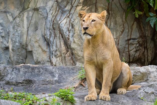 Immagine di un leone femmina sulla natura. animali selvaggi.
