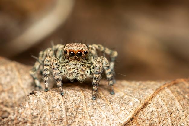 Immagine di ragni saltanti (salticidae)., insetto. animale.