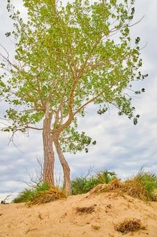 Immagine di un grande albero in dune di sabbia circondate da sabbia a livello degli occhi bassi