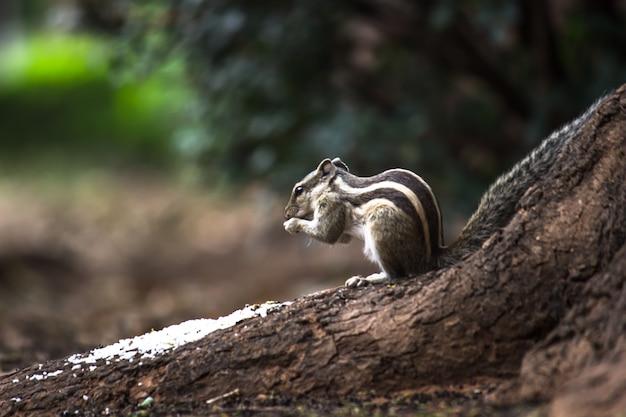 Immagine di roditori di medie dimensioni scoiattoli arboricoli scoiattoli a terra scoiattoli marmotte o cani della prateria