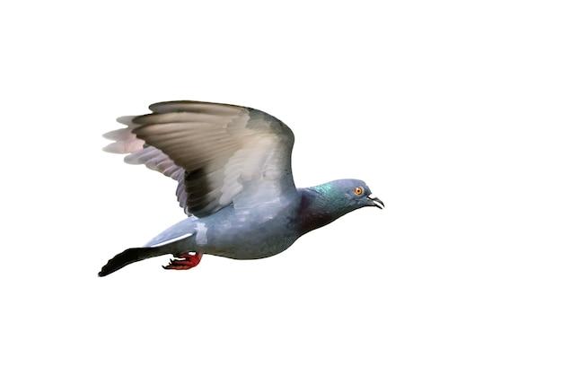 Immagine del piccione che vola isolato su sfondo bianco., uccelli, animali.