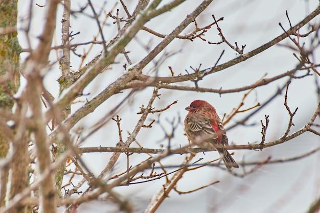 Immagine dell'uccello rosso che riposa sul ramo dell'albero invernale con neve leggera