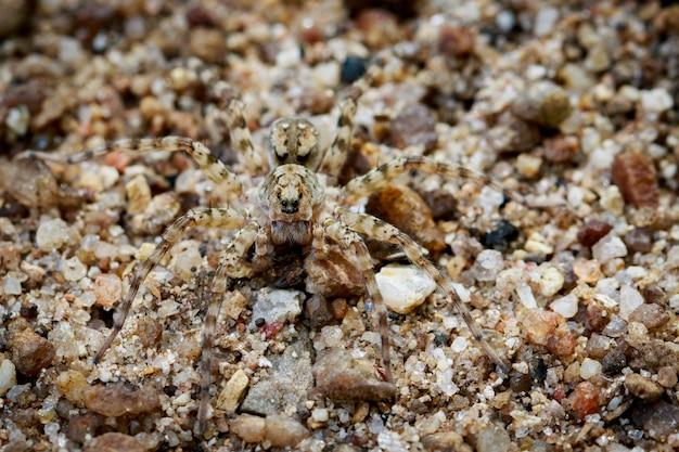Immagine di river huntress spiders (venatrix arenaris) sulla sabbia. animale insetto