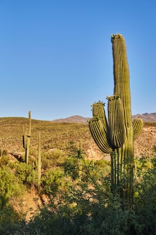Immagine della serie di grandi cactus verdi nel deserto con cielo blu