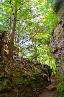 Immagine di un albero con una grande rete di radici appoggiata su una roccia in una foresta vicino a una ripida scogliera