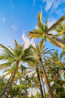 Immagine delle palme verdi colorate dei tropici contro il cielo blu