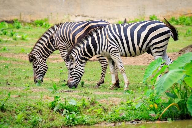 L'immagine di due zebre sta mangiando l'erba sullo sfondo della natura. animali selvaggi.