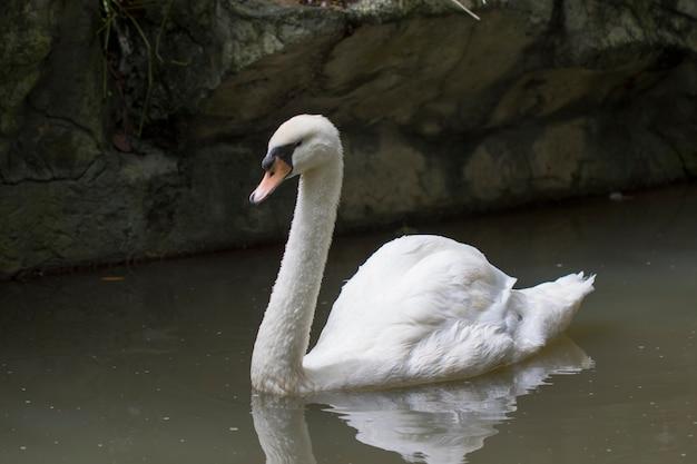 Immagine di un cigno bianco sull'acqua. animali della fauna selvatica.