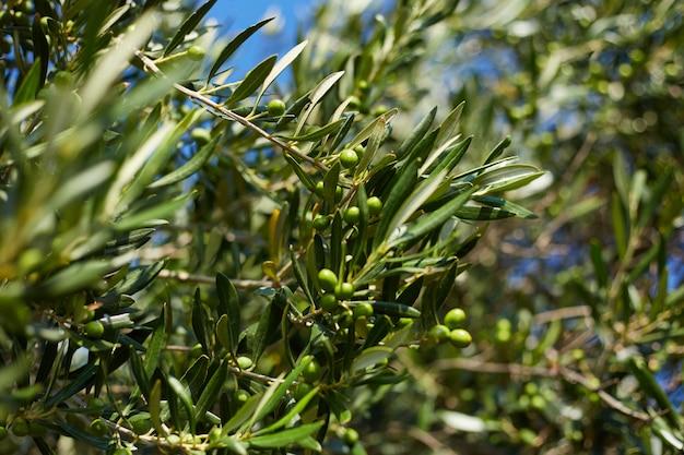 Immagine con un ramo di ulivo sull'isola di corfù