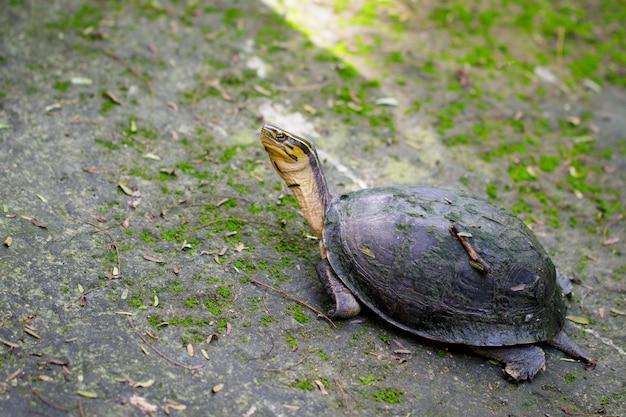 Immagine della tartaruga del tempio dalla testa gialla sullo sfondo della natura. rettile. animali.