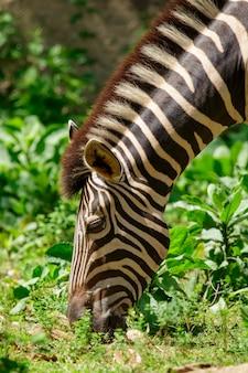 L'immagine di una zebre sta mangiando l'erba sullo sfondo della natura. animali selvaggi.