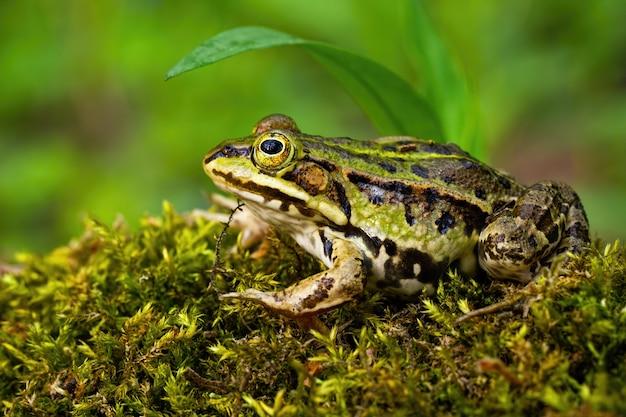 Rana commestibile poco appariscente che si nasconde sotto una foglia verde in estate
