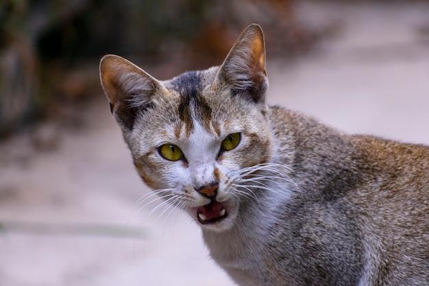 Gatto indiano domestico che guarda l'obbiettivo facendo pose e facce divertenti
