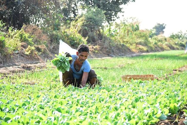 Lavoratore agricolo indiano che pianta cavolo nel campo e che tiene mazzo di piccola pianta di cavolo nelle mani