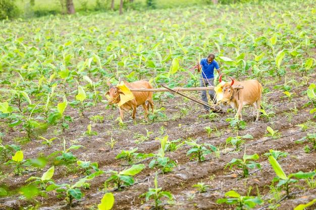 Coltivatore indiano che lavora campo di cotone verde con due bue
