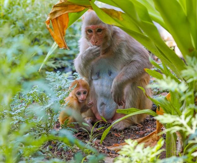 Scimmia indiana o scimmia macaco rhesus