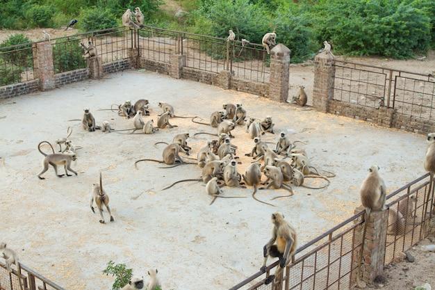 Scimmia indiana