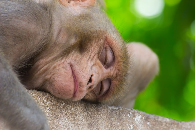 Scimmie indiane conosciute anche come il macaco rhesus che fanno un breve pisolino o dormono sotto l'albero