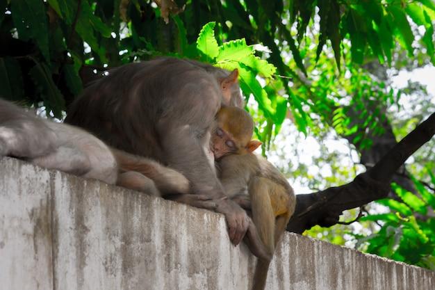 Scimmie indiane conosciute anche come macaco rhesus che fanno un breve pisolino o dormono sotto l'albero