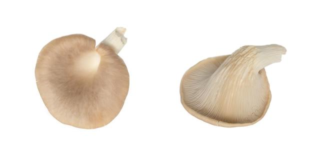 Fungo di ostrica indiano (fungo fenice o ostrica polmonare) isolato su sfondo bianco.