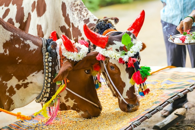Festival indiano della pola, festival del bue.