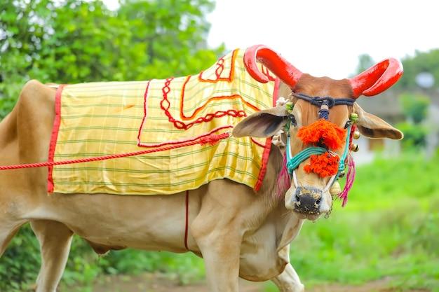 Festa della pola indiana nel rispetto dei tori e dei buoi celebrata dagli agricoltori in india