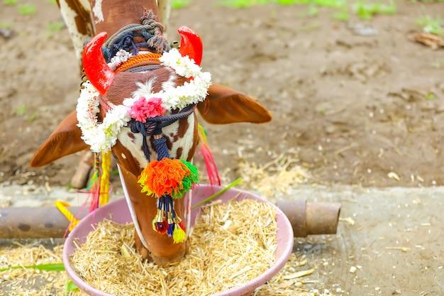 Festival indiano della pola che rispetta tori e buoi nel maharashtra e in tutta l'india