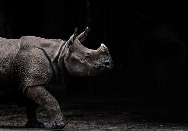 Rinoceronte indiano rhinoceros unicornis in primo piano che cammina sulla terra con uno sfondo scuro