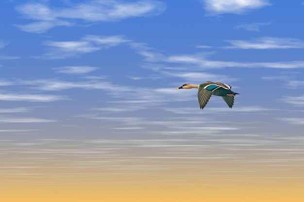 Un'anatra indiana che vola nel cielo