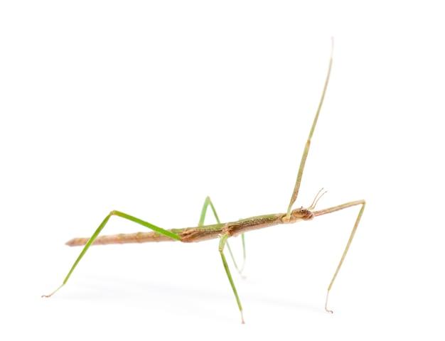 Insetto stecco indiano, carausius morosus noto anche come insetto stecco da laboratorio, in piedi contro lo spazio bianco