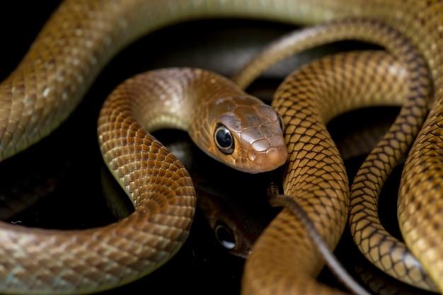 Serpente di ratto indo-cinese isolato sul nero