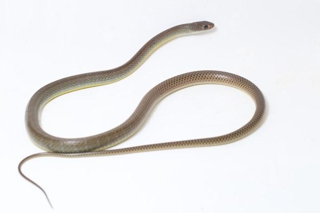 Serpente di ratto indo-cinese isolato