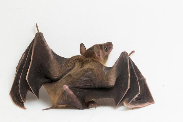 Titthaecheilus indonesiano del pipistrello della frutta dal naso corto cynopterus isolato